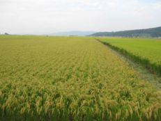 201110今年の米作り